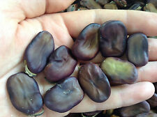 12 RARE Fava Bean Seeds - Vicia Faba - BEST OLD VARIETY from MALTA - See Photos
