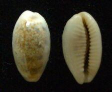seashell Cypraea pallidula VERY SMALL 16-17mm Gem