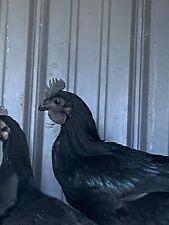 6 Rare, Pure Black, (Flf Origin) Ayam Cemani Fertilized Hatching Eggs