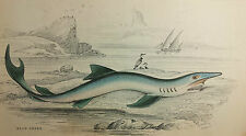 BLUE SHARK - Vintage antique hand-colored print- fish aquatic ocean natural hist