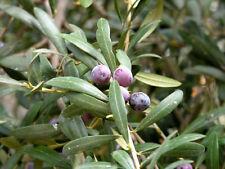 Olive Tree - 'Arbequina' - Olea europaea - live plant