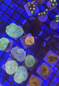 5Lot Asst Frags - Live Saltwater Aquarium!  *FREE SHIPPING* FISH/CORAL/REEF