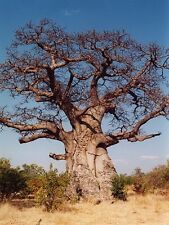 Adansonia Digitata AFRICAN BAOBAB TREE ~SEEDS~