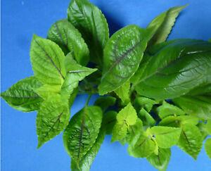 Buntnessel Coleus grün dunkelrote Adern Zimmerpflanze Ableger Steckling