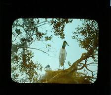 MAGIC LANTERN SLIDES BIRDS, NATURE. TINTED, FIVE SET.