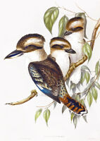 "Vintage John Gould Bird Art CANVAS PRINT~ Laughing Kookaburra poster 24""X18"""