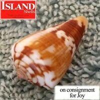 GEM! Conus orion 25.7mm SUPERB RARE BEAUTY from Panama