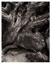 1931 Vintage California POINT LOBOS CYPRESS Tree Wood Photo Art By EDWARD WESTON