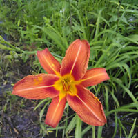30 Live Orange Daylilies Ditch Day Tiger Lilies Hemerocallis Fulva Plants Roots