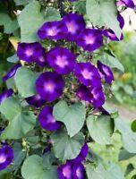 1000 Samen Ipomoea purpurea Kniola Black kniolas Morning Glory Prunkwinde