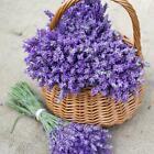 True LAVENDER Perennial Fragrant Medicinal Dried Flowers Fresh Non-GMO 100 Seeds
