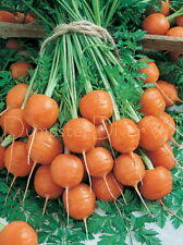 """Parisian"" Round Carrot SWEET Flavor, French heirloom 100+ seed Organic NON-GMO"