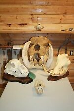 Huge Real African Baboon Monkey Ape Hyena Skull Real Bone Teeth Mount Taxidermy