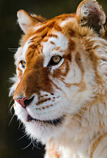Encadrée Imprimer-rare golden tiger (Photo Poster Jungle Animal Art lion léopard)