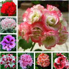 Egrow 100 PCS Geranium Seed Garden Potted Flower Seeds Pelargonium Plant Bonsai