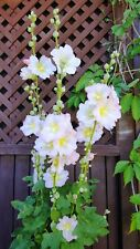 Giant Yellow with Pink Single Hollyhock Seeds 11 Feet Tall 25 Seeds