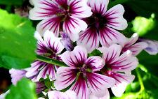 Malva Sylvestris Zebrina - 50 seeds - Perennial