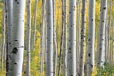 100 WHITE JAPANESE BIRCH TREE SEEDS + Gift & Comb S/H