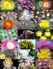 Flowering Mesembs Mix exotic succulent rocks living stones plant seed -15 Seeds