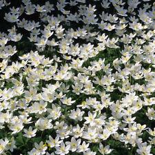 Anemone nemerosa Wood Anemone 20 bulbs woodland winter groundcover UK wildflower