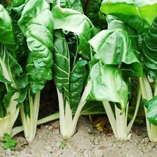 ORGANIC  VEGETABLE  SWISS CHARD FORDHOOK GIANT 100 SEEDS
