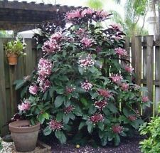 1 Shooting Star Clerodendrum Quadriloculare 14� Starburst Plant Shooting Star