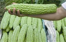 Chinese Big Bitter Gourd Heirloom Vegetable seeds Home/Garden 15 Pcs Packet