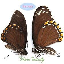 PAIR unmounted butterfly Chilasa clytia f.clytia A1-