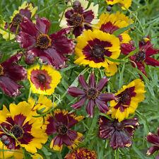 Kings Seeds - Coreopsis Hybrida Incredible Dwarf Mix - 400 Seeds