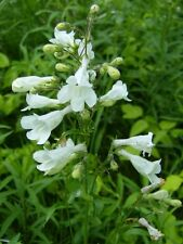 Penstemon digitalis ''Foxglove beard-tongue''   20+ Fresh Seed