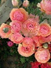 Ranunculus Bulbs Flower Perennial Hardy Resistant Persian Buttercup Pink Plants