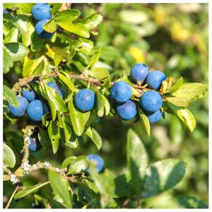 10 Blackthorn Hedging 2-3ft, Prunus Spinosa,Native Flowering Sloe Berry Hedge