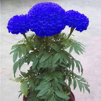 200Pcs Blue Marigold Maidenhair Seeds Home Garden Edible Flower Plant Seed Fashi