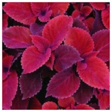 Coleus Red Velvet 1-rooted Cutting Sun Or Shade Loving Plant /great house Plant