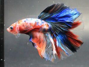 Thai Betta Plakat Fish Live Red Fancy KOI Fight Flower Aquarium Pet Wild Office