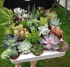Set of 20 Mixed Succulent Plants FULL TRAY in 5.5cm Pots | Echeveria | Crassula