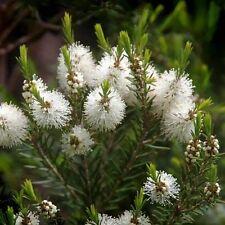 Huile Essentielle TEA TREE 10ml Arbre a The melaleuca alternifolia