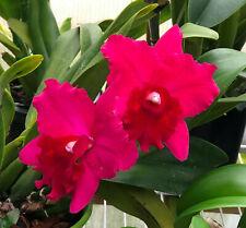 Rth. Elaine Taylor 'Krull Smith' Cattleya Hybrid Orchid Plant.