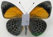 Callithea davisi Butler, 1877 Peru 55mm2a