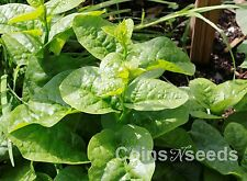 "100 Seeds of "" Ceylon Spinach "" Malabar Green , Malabar Asian Climbing Spinach"
