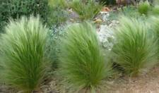100 Graines Stipa Tenuissima Grass, Mexican Feather Grass Seeds