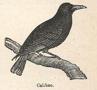A6679 Calibeo - Stampa Antica del 1924 - Xilografia