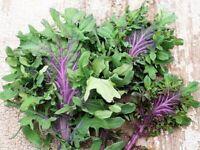 Kale, Ursa Kale Seeds 100+ SEEDS NON-GMO magenta stem kale health food USA