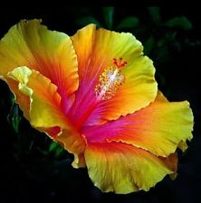 Hardy Giant Hibiscus Flowers Seeds Color: Pink/Yellow. Qty. 20 Seeds