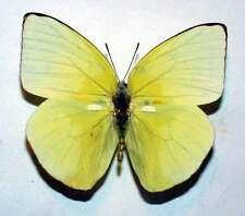 CATOPSILIA POMONA RIVALIS - unmounted butterfly