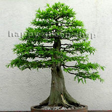 DAWN REDWOOD - 60 seeds Metasequoia glyptostroboides BONSAI SEEDS giant sequoia