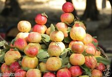 Red guavas of Allahabad 20  seeds #SFS- 661#