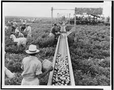 Laborers picking Tomatoes,Conveyor Belt,1957,Homestead,Florida,Harvesting 8167