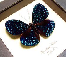 Real Framed Rare Hamadryas Velutina Cracker Van Gogh Starry Night Butterfly 681