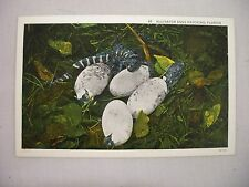 VINTAGE LINEN POSTCARD OF ALLIGATOR EGGS HATCHING IN FLORIDA UNUSED